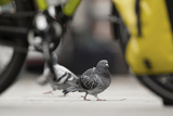 Feral Pigeon - Rock Dove (Columba Livia) on City Street Seen Through Bycicle Wheels Sheffield  UK
