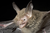 Van Gelder's Bat (Bauerus Dubiaquercus) Portrait Papier Photo par Claudio Contreras