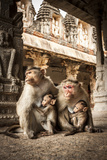 Bonnet Macaque (Macaca Radiata) Females Suckling Babies in Temple  Hampi  Karnataka  India  July