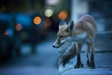 Young Urban Red Fox (Vulpes Vulpes) with Street Lights Behind Bristol  UK August