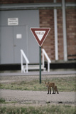 Red Fox (Vulpes Vulpes) Standing in Front of a Road Sign  Denver  Colorado  June