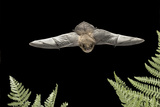 California Myotis (Myotis Californicus) in Flight  Rogue River National Forest  Oregon  USA  August
