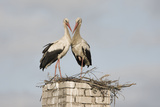White Stork (Ciconia Ciconia) Pair at Nest on Old Chimney