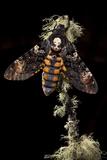 Death's Head Hawkmoth (Acherontia Atropos) UK Captive Bred
