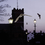 Common Pipistrelles (Pipistrellus Pipistrellus) Flying Round Church Tower. UK. Digital Composite Papier Photo