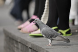 Feral Pigeon (Columba Livia) on Ground
