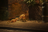 Urban Red Fox (Vulpes Vulpes) Adult Male and Cub on Street West London UK