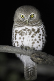 African Barred Owl (Glaucidium Capense) Perched at Night  South Luangwa National Park  Zambia July