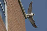 Adult Female Peregrine Falcon (Falco Peregrinus) Taking Flight from the Roof an Office Block