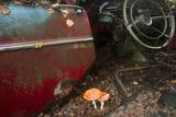 Fly Agaric (Amanita Muscaria) Growing in Car Graveyard  Bastnã¤S  Sweden  September