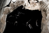 Ghost-Faced Bats (Mormoops Megalophylla) Flying into Cave Through Cave Entrance  Sabinas  Mexico