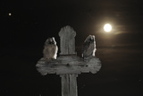 Long Eared Owl (Asio Otus) Chicks Perched on a Cross