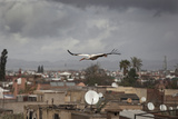 White Stork (Ciconia Ciconia) in Flight over City Buildings Marakesh  Morocco  March
