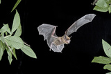 Evening Bat (Nycticeius Humeralis) in Flight with Mouth Open  North Florida  USA
