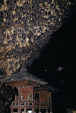 Rousettus Fruit Bats at Goa Lawah Bat Cave Temple  Bali Indonesia
