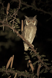 White Faced Scops Owl (Otus Leucotis) in a Candle-Pod Acacia (Acacia Hebeclada) at Night
