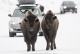 Bison (Bison Bison) Pair Standing on Road in Winter  Yellowstone National Park  Wyoming  USA  March