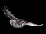 Tawny Owl (Strix Aluco) in Flight Captive UK