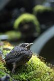 Blackbird (Turdus Merula) Fledgling on Old Car  Bastnas Car Graveyard  Varmland  Sweden  July