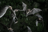 Naked-Backed (Moustached) Bats (Pteronotus Davyi) Emerging at Dusk  Tamana  Trinidad  West Indies