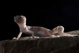 Desert Banded Gecko (Coleonyx Variegatus Variegatus) Controlled Conditions Papier Photo par Daniel Heuclin