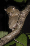 Adult Western - Horsfield's Tarsier (Tarsius Bancanus) in Forest Understorey at Night