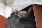Red Squirrel (Sciurus Vulgaris) on Wheel of Snow Plough  Oulu  Finland  March