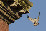 Peregrine Falcon (Falco Peregrinus)  Adult Male Landing on Building Bristol  UK March