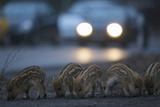 Wildschweine (Sus Scrofa), Frischlinge Am Stra§Enrand, Grunewald, Hÿttenweg, Berlin, Deutschland Papier Photo par Florian Moellers