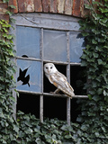 Barn Owl Sitting in Old Farm Window  Tyto Alba  Norfolk