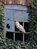 Barn Owl Sitting in Old Farm Window, Tyto Alba, Norfolk Papier Photo par Paul Hobson