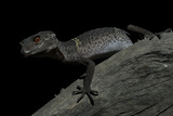 Pingxiang Cave Gecko (Goniurosaurus Luii) Clinging to Tree Trunk with Strong Red Eyes