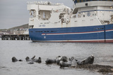 Grey Seals (Halichoerus Grypus) on Haul Out in Fishing Harbour with Ferry in the Background