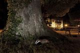 Badger (Meles Meles) Foraging by a Tree Near Buildings Freiburg Im Breisgau  Germany  May