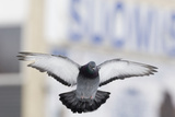 Feral Pigeon (Columba Livia) Flying  London  March