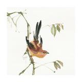 Mountain Bush Warbler