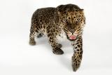 A Critically Endangered Amur Leopard  Panthera Pardus Orientalis