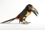 A Collared Aracari  Pteroglossus Torquatus