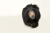 Sloth Bear  Melursus Ursinus