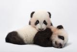 Mei Lun and Mei Huan  Twin Giant Panda Cubs  Ailuropoda Melanoleuca