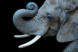A Female African Bush Elephant  Loxodonta Africana