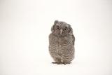 A Juvenile Eastern Screech Owl  Megascops Asio