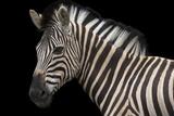 A Damara Zebra or Burchell's Zebra  Equus Quagga Burchellii