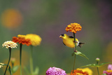 American Goldfinch Male on Zinnia  Marion County  Illinois