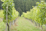Canada  British Columbia  Cowichan Valley Row of Grape Vines