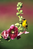 American Goldfinch Male on Hollyhock  Marion  Il