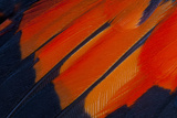 Fanned Out Wing Feathers in Red  Orange and Black
