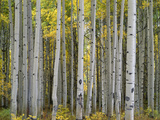 Colorado  Gunnison National Forest  Mature Grove of Quaking Aspen Displays Fall Color
