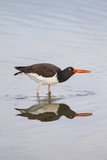 American Oystercatcher Drinking Papier Photo par Larry Ditto