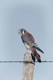 American Kestrel Male on Fence Post  Colorado